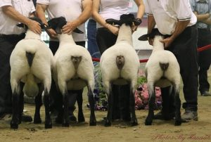 Classic Suffolk Flock 3rd